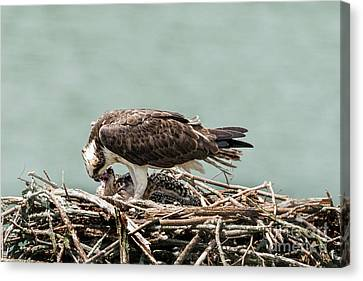 Osprey Feeding Fish To Her Baby Canvas Print by Dan Friend