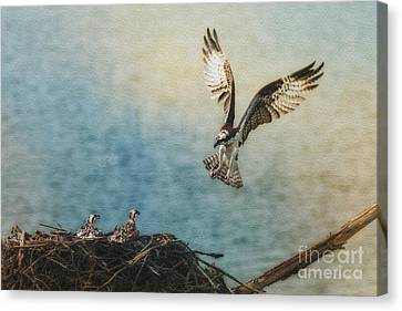 Osprey Flying Back To Nest Canvas Print by Dan Friend