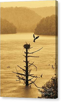Osprey Flying Up To Nest With Food Nest On Old Dead Tree In Water Canvas Print by Dan Friend