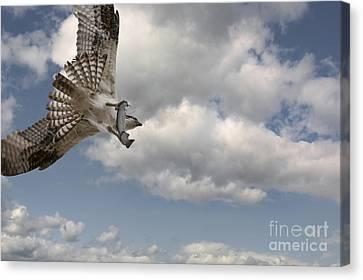 Osprey In Flight Canvas Print by Wildlife Fine Art