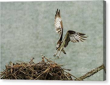 Osprey Landing On Her Nest Canvas Print by Dan Friend