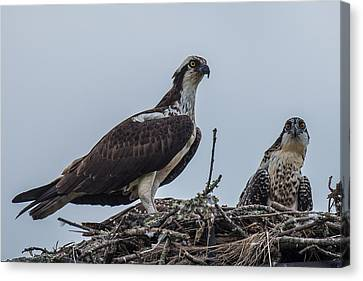 Osprey On A Nest Canvas Print by Paul Freidlund