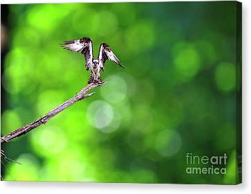 Osprey  Speading His Wings Canvas Print by Dan Friend