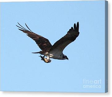 Osprey With Fish Canvas Print by Carol Groenen