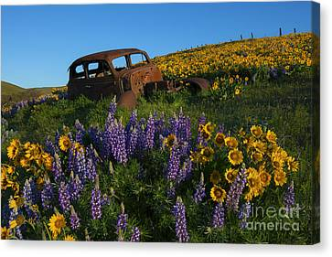 Out To Pasture Canvas Print by Mike Dawson