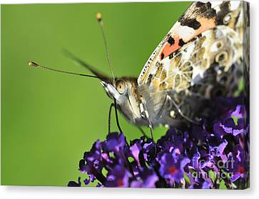 Painted Lady On Buddleia Close Up Canvas Print by Andy Smy