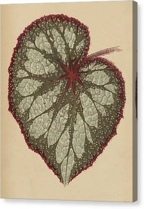 Painted Leaf Begonia Canvas Print by English School