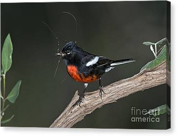 Painted Redstart With Prey Canvas Print by Anthony Mercieca