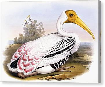 Painted Stork Canvas Print by John Gould
