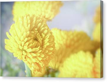 Pale Mums Canvas Print by Kurt Golgart