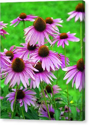 Pale Purple Coneflowers Canvas Print by Marty Koch