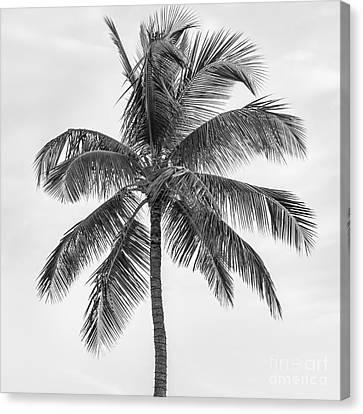 Palm Tree Canvas Print by Elena Elisseeva