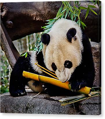 Panda Bear Canvas Print by Robert Bales