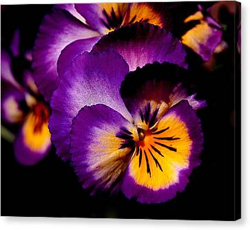 Pansies Canvas Print by Rona Black