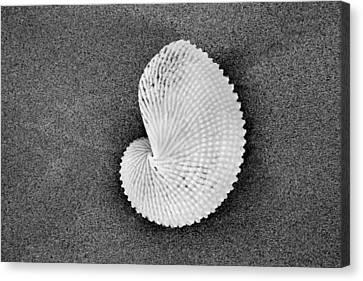 Paper Nautilus Shell Canvas Print by Sean Davey