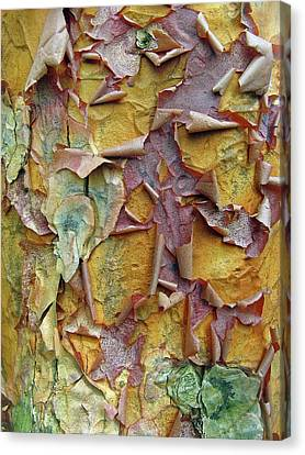 Paperbark Maple Tree Canvas Print by Jessica Jenney