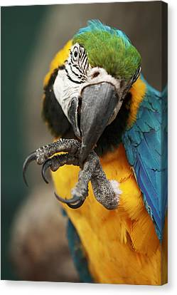 Parrot Ara Macao Cleaning Its Foot Canvas Print by Jiri Vondrous