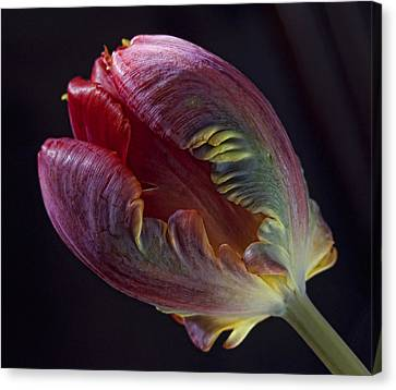 Parrot Tulip 5 Canvas Print by Robert Ullmann