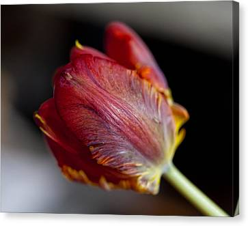 Parrot Tulips 13 Canvas Print by Robert Ullmann