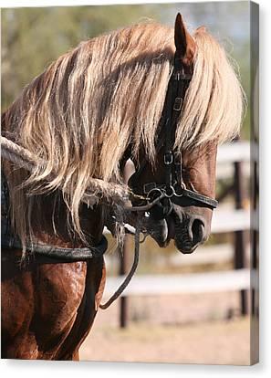 Paso Fino Stallion Canvas Print by Wendi Matson