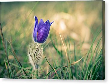 Pasque Flower Canvas Print by Andreas Levi