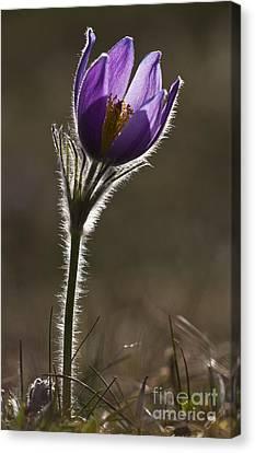 Pasque Flower Canvas Print by Per-Olov Eriksson