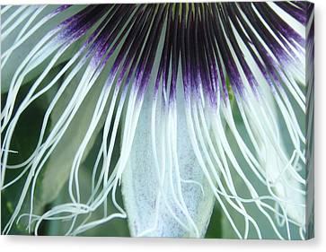 Passion Flower 3 - Passiflora Edulis Var. Flavicarpa Canvas Print by Elena Schaelike
