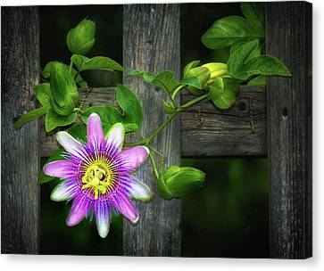 Passion Flower On The Fence Canvas Print by Carolyn Derstine