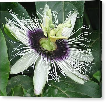 Passion Flower  - Passiflora Edulis Var. Flavicarpa Canvas Print by Elena Schaelike
