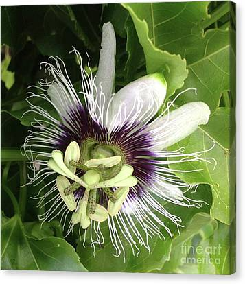 Passion Of A Flower Canvas Print by Karen Moren