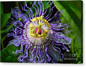 Passionflower Spiritual Art Canvas Print by Robyn King