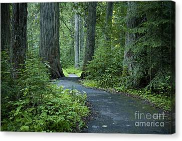 Path Through The Cedars Canvas Print by Idaho Scenic Images Linda Lantzy