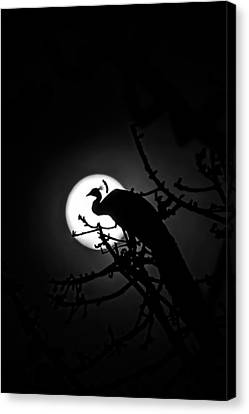 Peacock Roosting Against Full Moon. Canvas Print by Ramabhadran Thirupattur