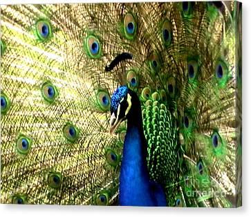 Peacock Canvas Print by Toon De Zwart