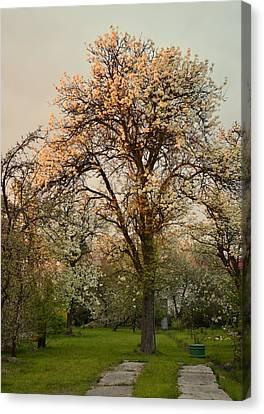 Pear Spring Sunrise Canvas Print by Henryk Gorecki
