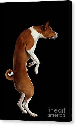 Pedigree White With Red Basenji Dog On Isolated Black Background Canvas Print by Sergey Taran