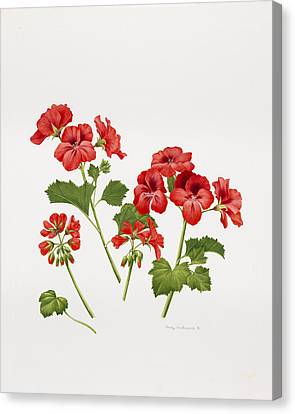 Pelargonium Geranium Canvas Print by Sally Crosthwaite