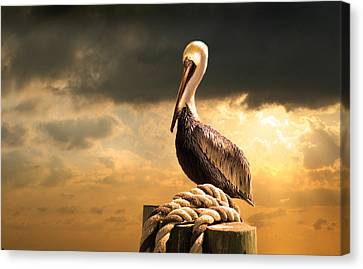 Pelican After A Storm Canvas Print by Mal Bray