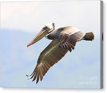Pelican In The Sky Canvas Print by Wingsdomain Art and Photography