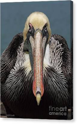 Pelican Stare Canvas Print by Deborah Benoit
