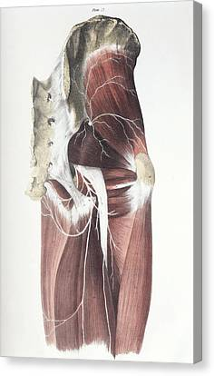 Pelvic Spinal Nerves Canvas Print by Sheila Terry