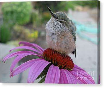 Perched Baby Hummingbird Canvas Print by Stephanie Wenzl