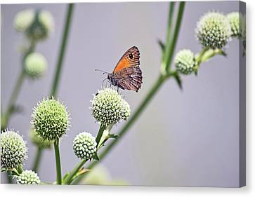Perched Butterfly No. 255-1 Canvas Print by Sandy Taylor