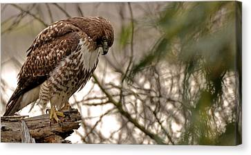 Perching Red Tail Hawk Canvas Print by Matt MacMillan