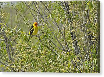 Perching Tanager Canvas Print by Dennis Hammer