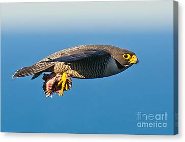 Peregrine Falcon 2 Canvas Print by Michael  Nau