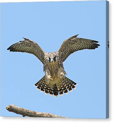 Peregrine Falcon Concentration Canvas Print by ML Lombard