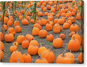 Petes Pumpkin Patch Canvas Print by John Stephens