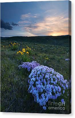 Phlox Sunset Canvas Print by Mike Dawson