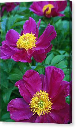 Pianese Flowers Canvas Print by Natural Selection Tony Sweet
